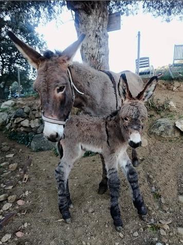 Reconnaissance de l'âne Corse